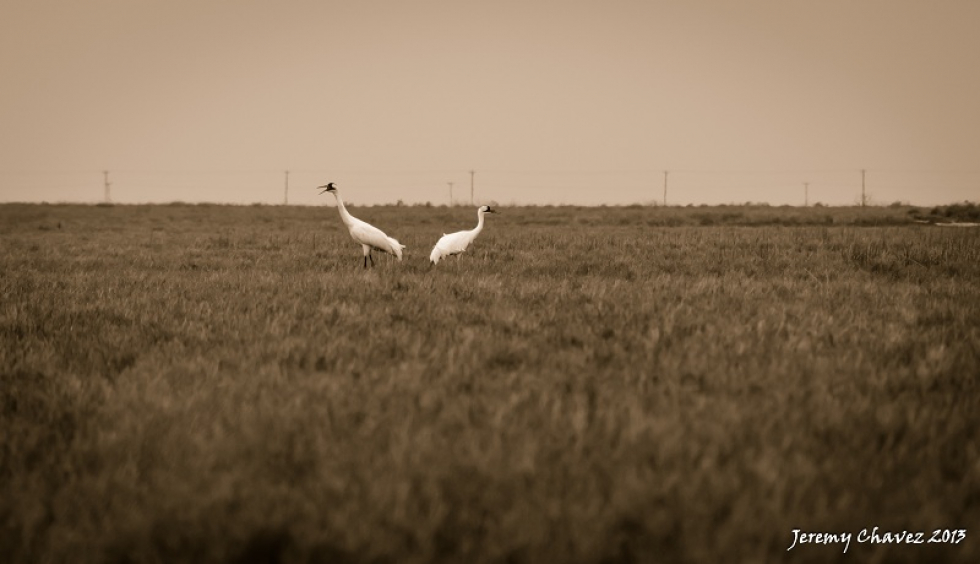 Photo of the Week…Pair of Whoopers
