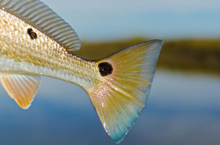 Galveston Redfish Tail